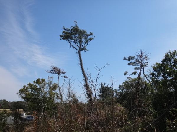 松林枯れ.JPG