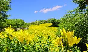 黄色のユリ 青空の下 .jpg