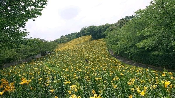 黄色のユリ全景.jpg
