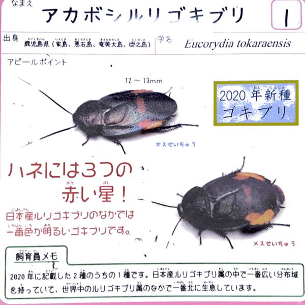 アカボシルリゴキブリ説明.png
