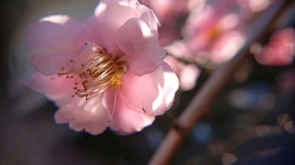 梅の花 アップ.jpg