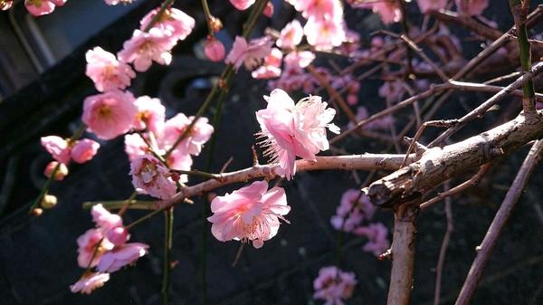 梅の花が.jpg