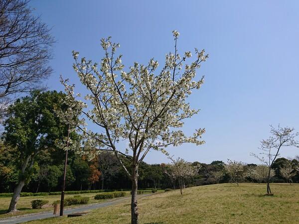 桜 全景.jpg