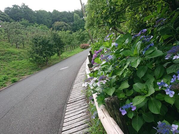 坂道と紫陽花.jpg