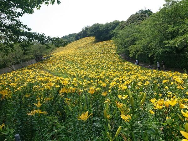 黄色のユリ畑1.jpg